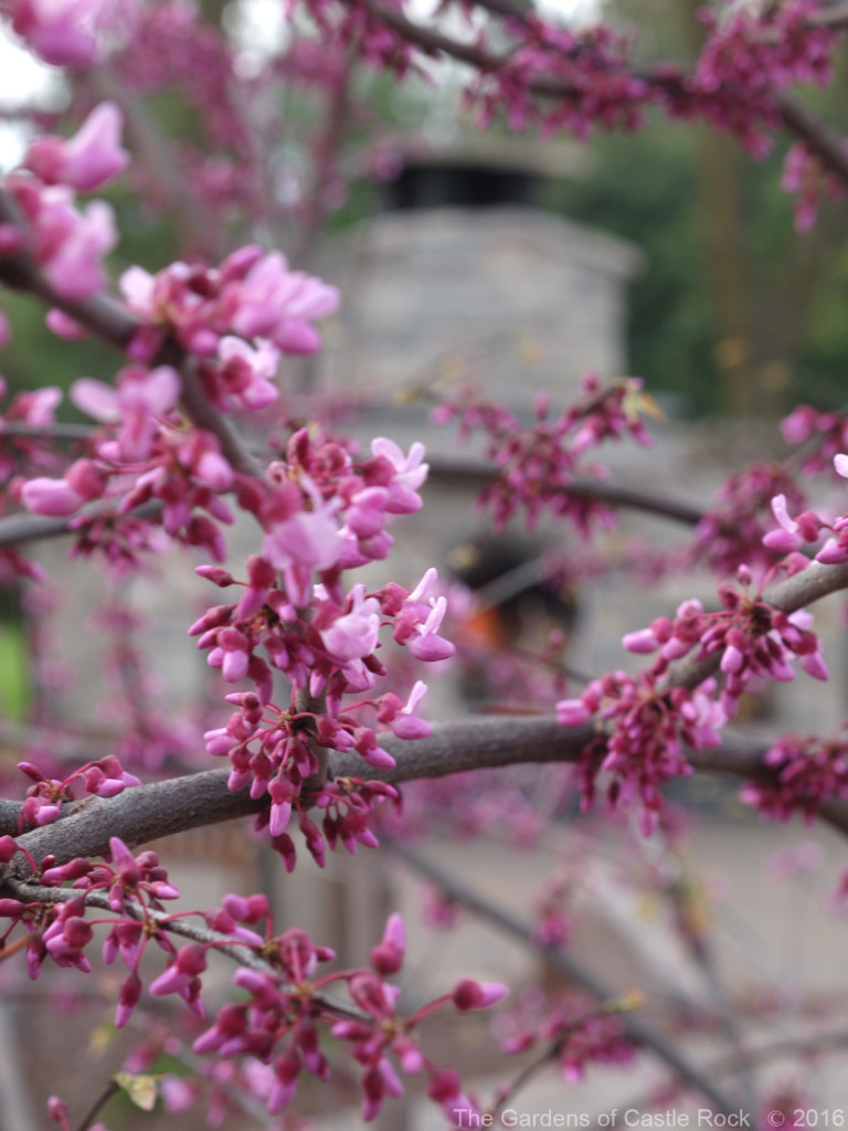 Easten Redbud in bloom with a roaring fire in the stone fireplace.  ~ Minnesota Wedding Venue The Gardens of Castle Rock Spring Open House 2016